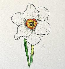 Kresby - Narcis - vel. A4 - 9253268_