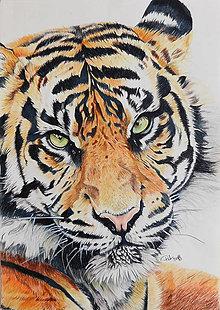 """Kresby - Farebná kresba """"Tiger"""" - 9312622_"""