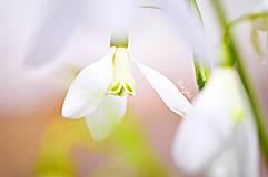 Fotografie - Snežienka - 9316383_