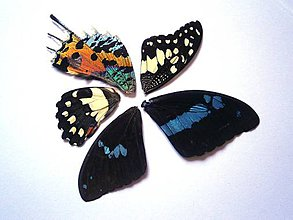 Iný materiál - 7. Set motýlich krídel - 5 ks (nízka kvalita, trošku ošúchané, nalomené) - 9344738_
