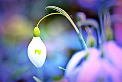 Fotografie - Tajomstvo snežienok  - 9372251_