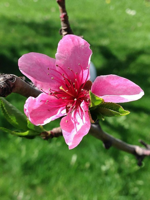 Ružová broskyňa