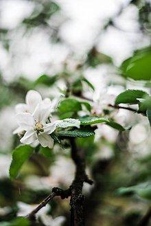 Obrazy - Kvety broskyne_I - 9480595_