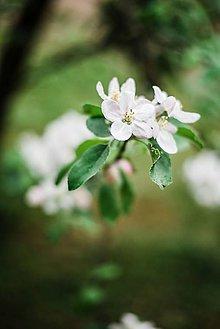 Obrazy - Kvety broskyne_II - 9480609_