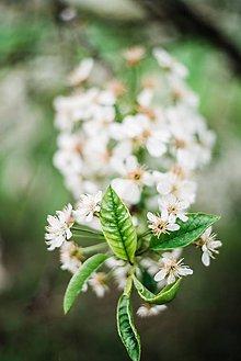 Obrazy - Kvety višne_I - 9480614_