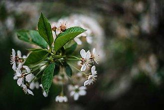 Obrazy - Kvety višne_II - 9480622_
