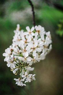 Obrazy - Kvety višne_III - 9480625_