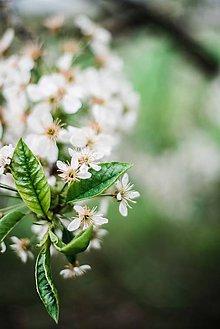 Obrazy - Kvety višne_IV - 9480637_