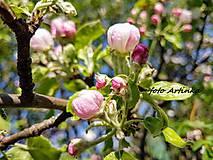 Fotografie - foto jabloňový kvet - 9529707_