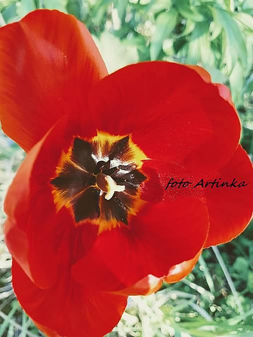 foto tulipán