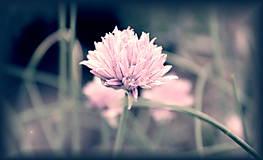 Fotografie - kvietok...flower...do ružova - 9534265_