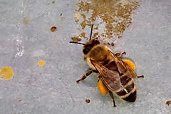 Potraviny - Včelí peľ - 9654221_