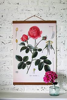 Grafika - Print na plátne CABINET RUŽA /ROSA CENTIFOLIA/ - 9667678_