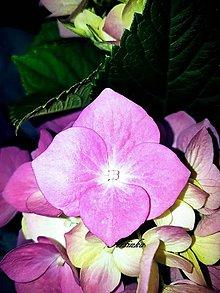 Fotografie - Foto - kvietok hortenzie - 9694251_