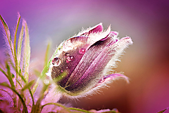 Fotografie - Poniklec - 9724919_