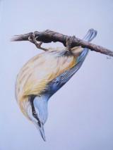Kresby - Kresba: Brhlík akrobat - 9729424_