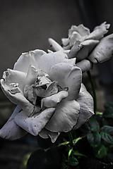 Fotografie - White Rose - 9778953_