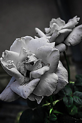 Fotografie - White Rose - 9778953_