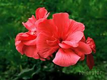 Fotografie - Lososové kvety - 9778241_