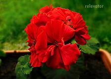 Fotografie - Rudé kvety - 9784222_