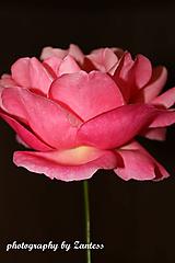 Fotografie - Purpurová ruža - 10113347_