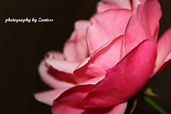 Fotografie - Divá ruža 2 - 10113362_