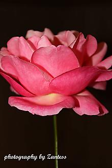 Fotografie - V-Fotografia... Purpurová ruža - 10113347_