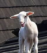 Fotografie - Rozprávka o zvedavej ovečke III. - 10124021_