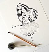 Kresby - Očkáň timotejkový - vel. A4 - 10128809_