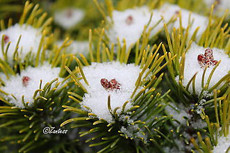 Fotografie - Fotografia... Snehové hniezda - 10193294_