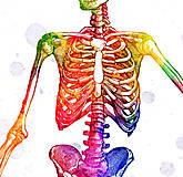 Grafika - Anatómia kostry - 10266910_