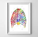 Grafika - Anatómia hrudníka - 10267221_