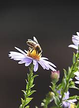 Fotografie - Včely 002 - 10275912_