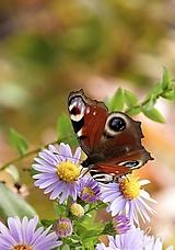 Fotografie - Motýľ 005 - 10275917_