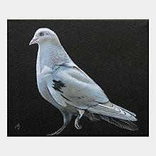 Obrazy - Bílý holub - olejomalba na plátně - 10418193_