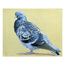 Obrazy - Takový normální holub - olejomalba na plátně - 10446446_