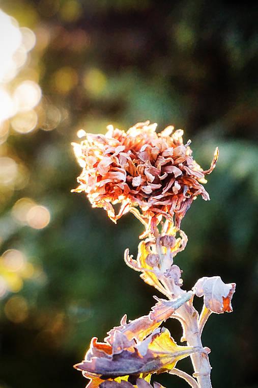 Krása suchej chryzantémy