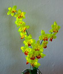 Dekorácie - Žltá krása - orchidea - 10518221_