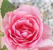Fotografie - Ruža II. - 10552469_
