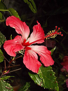 Fotografie - Čínska ruža - 10552594_
