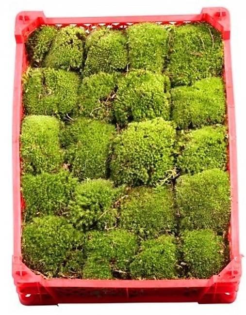 Kopčekovitý mach - ball moss aranžérsky (bledo zelený)