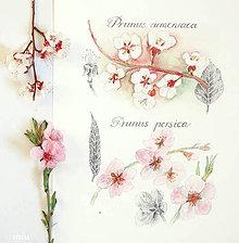 Obrazy - Prunus, akvarel + ceruzka - 10586314_