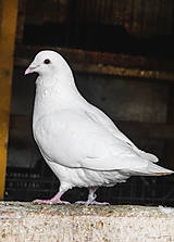 Biela holubička