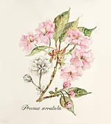 Obrazy - Tlač A4 Prunus - japonská čerešňa, akvarel + ceruzka - 10632682_