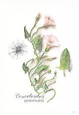 """Kresby - Reprodukcia (print A4) botanického obrázka """"Pupenec – Convolvulus arvensis"""" akvarel, ceruzka - 10633030_"""