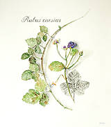 """Kresby - Tlač (print A4) botanického obrázka """"Ostružina ožinová – Rubus caesius"""" akvarel, ceruzka - 10633174_"""