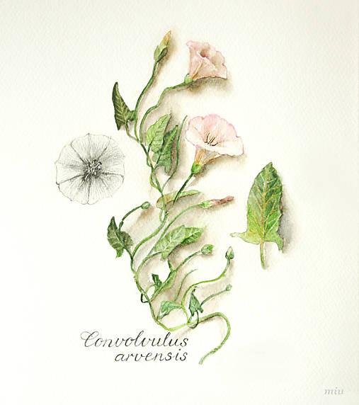 """Reprodukcia (print A4) botanického obrázka """"Pupenec – Convolvulus arvensis"""" akvarel, ceruzka"""