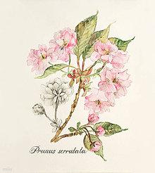 Obrazy - Obraz Prunus - japonská čerešňa, akvarel + ceruzka, tlač A4 - 10632682_