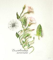 "Kresby - Obraz (print A4)  ""Pupenec – Convolvulus arvensis"" akvarel, ceruzka - 10633141_"
