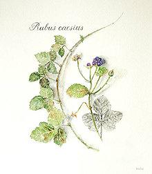 """Kresby - Reprodukcia (print A4) botanického obrázka """"Ostružina ožinová – Rubus caesius"""" akvarel, ceruzka - 10633174_"""